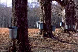 Maple Sap and Overtime under the FLSA